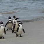 E se passasse as suas férias numa praia com pinguins?