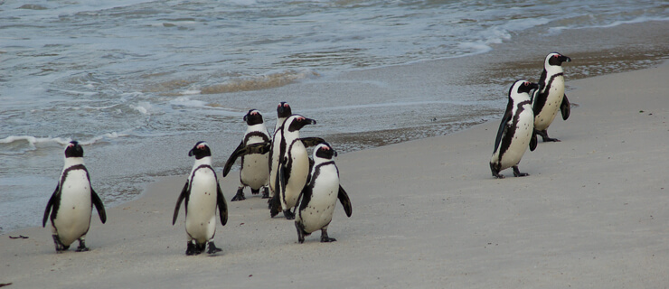pinguins África do Sul