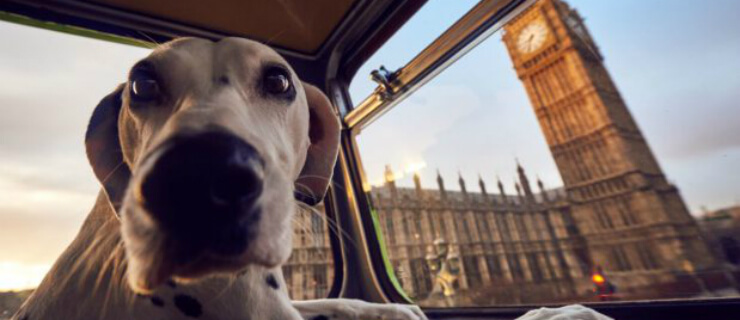 autocarro canino